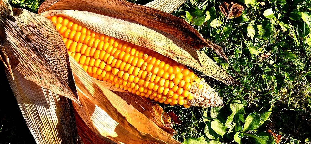 corn-on-the-cob-2204702_1280